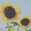 sunflower-icon